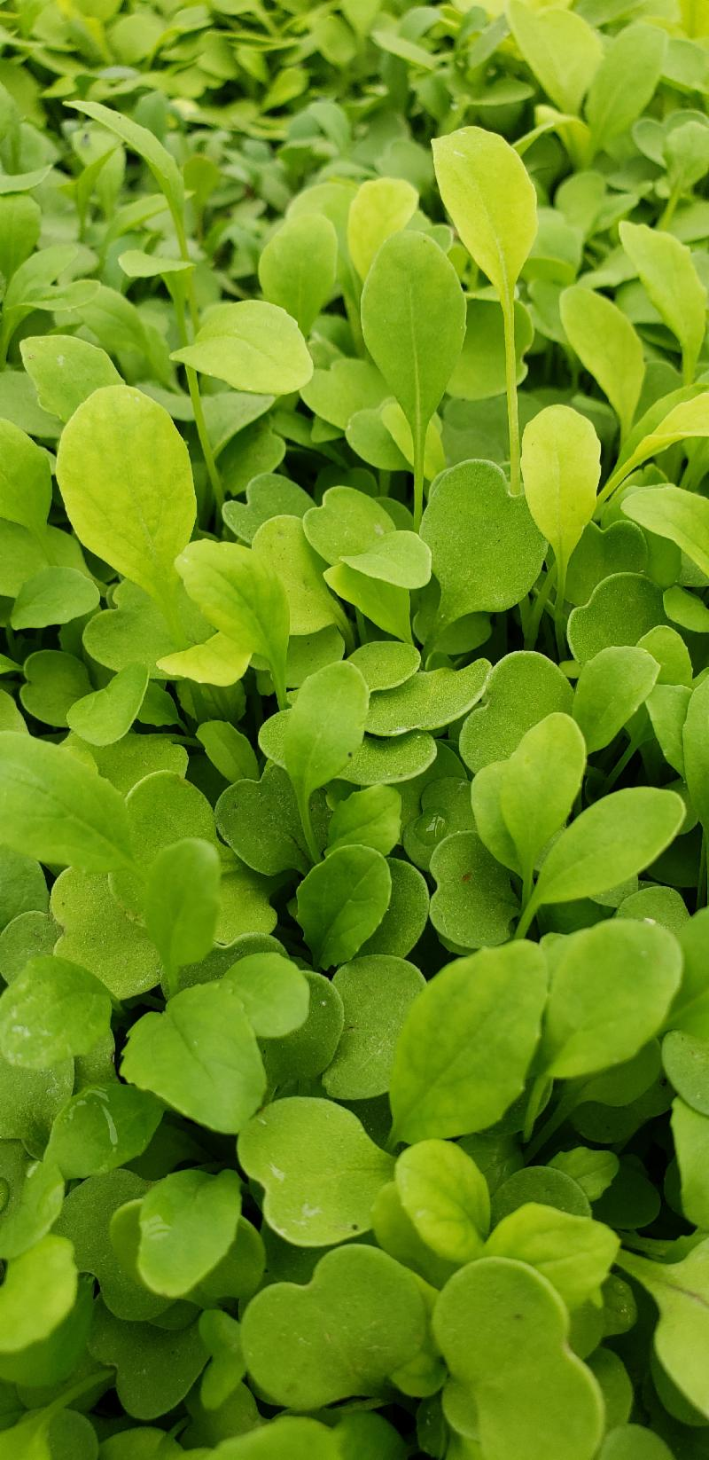 Lettuces-Arugula