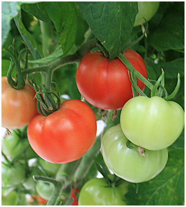 Cedar Spring Farms' Tomatoes