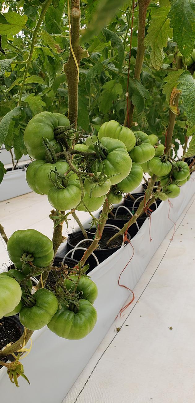 Cedar Spring Farms - Tomatoes