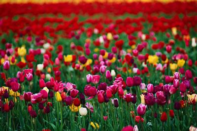 colorful-tulip-field.jpg