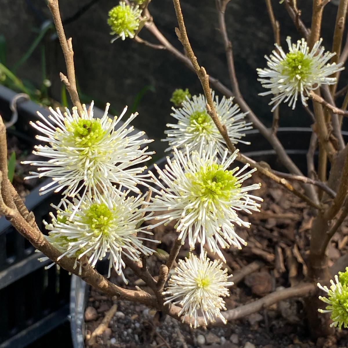 Fothergilla gardenii in bloom