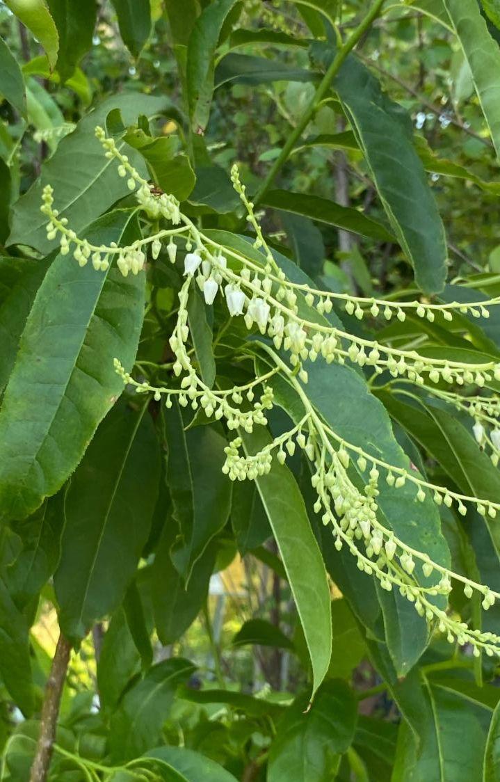 Oxydendrum arboreum (sourwood tree)