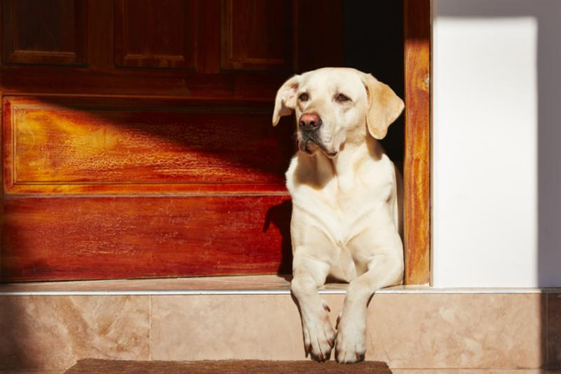 yellow_lab_by_wood_door.jpg