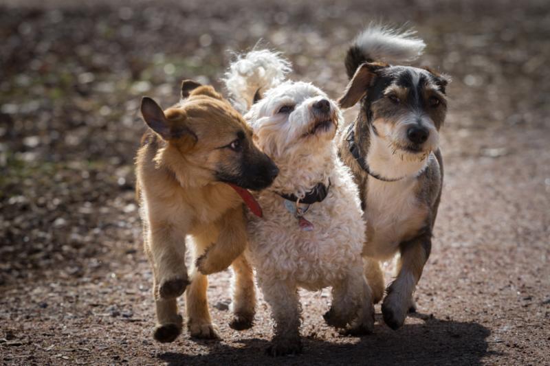 three_small_dogs_running.jpg