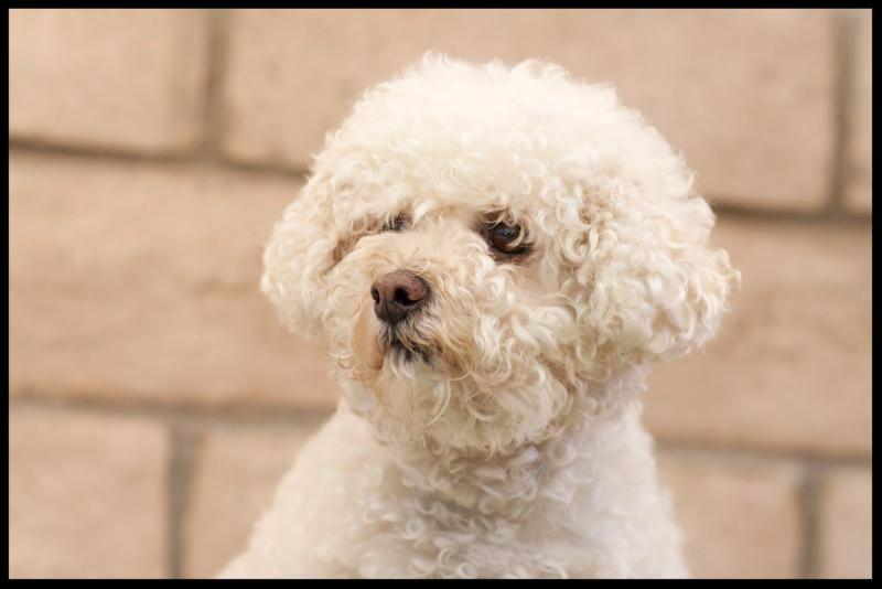 Angelo - senior dog
