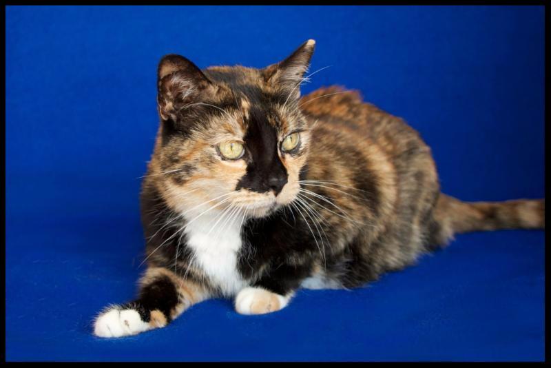 Dixie - Senior Cat