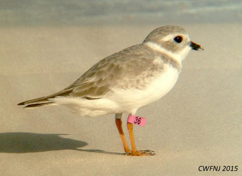 plover with tag, CWFNJ