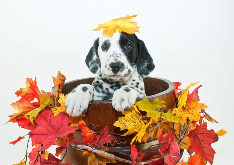 Silly Dalmatain puppy sitting in a bucket with fall leaves around him with a fall leaf that looks like it fell on his head on a white background.