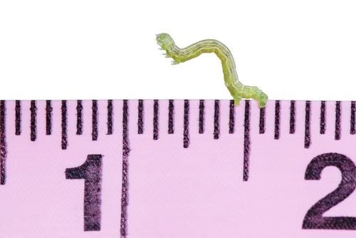 A Green Inchworm Canker worm on a Pink Measuring Tape isolated on White