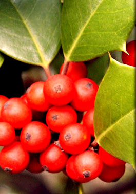 red-berries.jpg