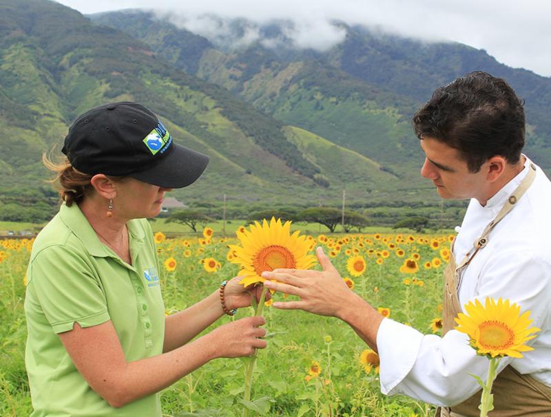 Chef in sunflower fields