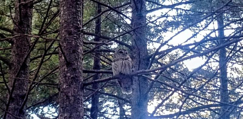 Denise owl in tree