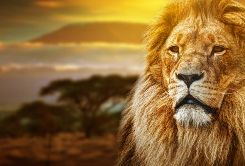 lion_portrait_savannah.jpg