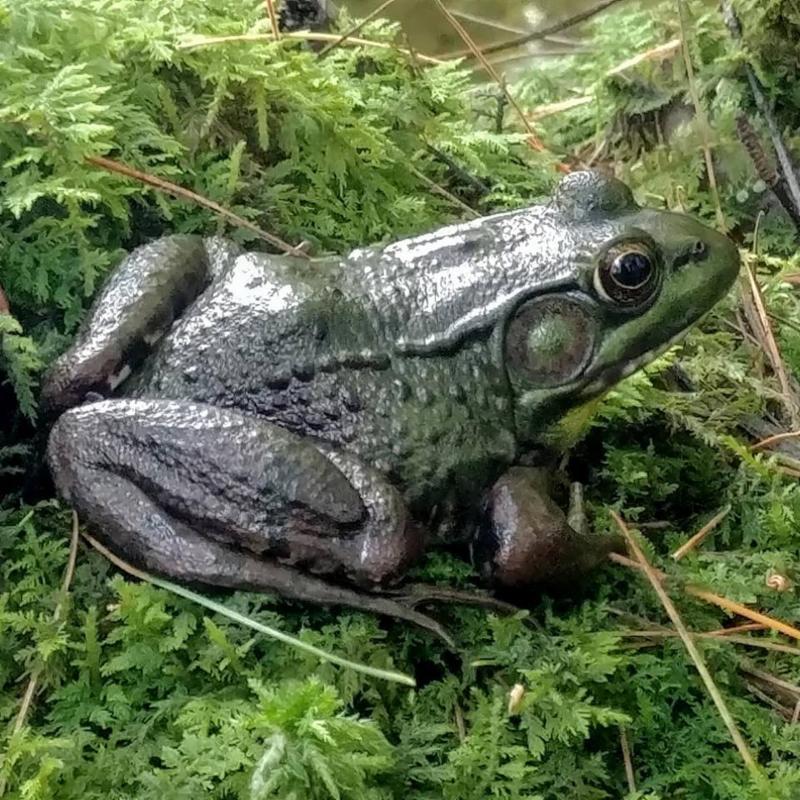 denise-frog