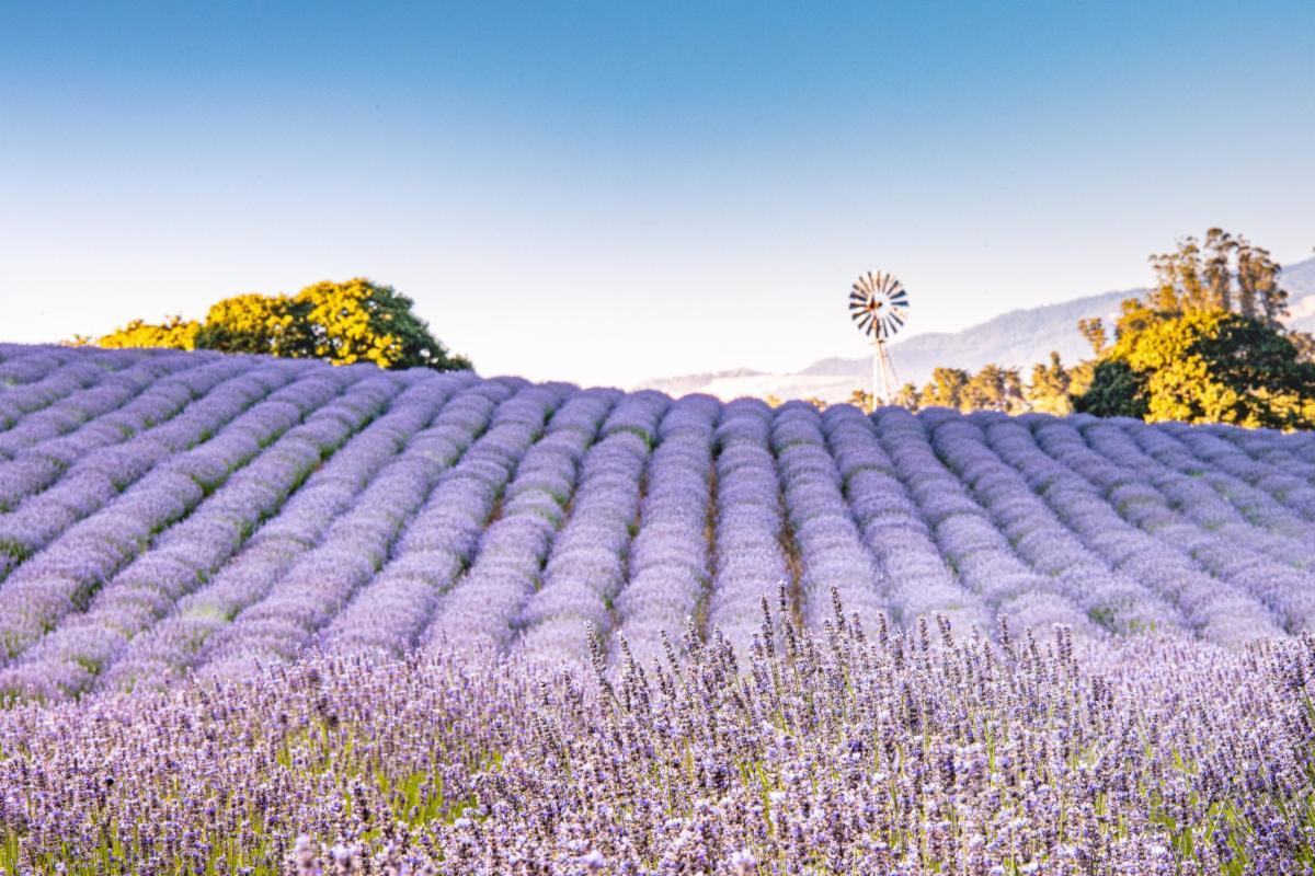 monte-bellaria lavender