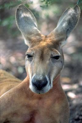 sleepy-kangaroo.jpg