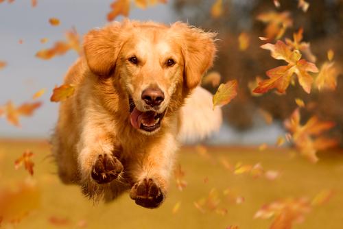 Dog_ golden retriever jumping through autumn leaves in autumnal sunlight