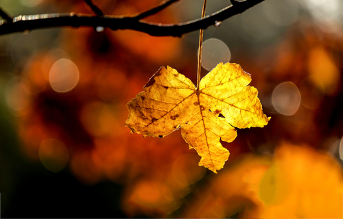 Autumn maple leaf close up. Golden autumn maple leaf. Maple leaf in autumn. Autumn maple leaf