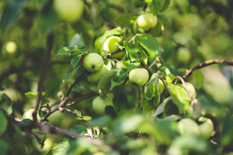Green apples on a tree branch