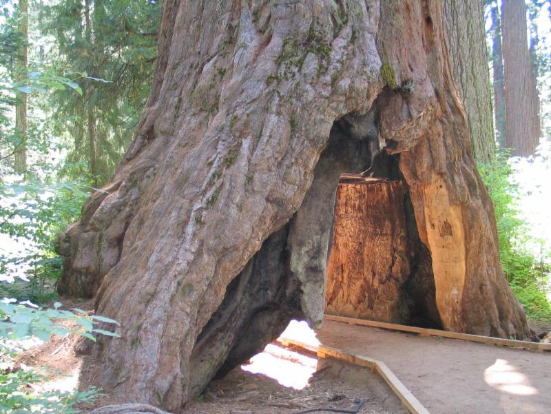 The sequoia tunnel tree is no more