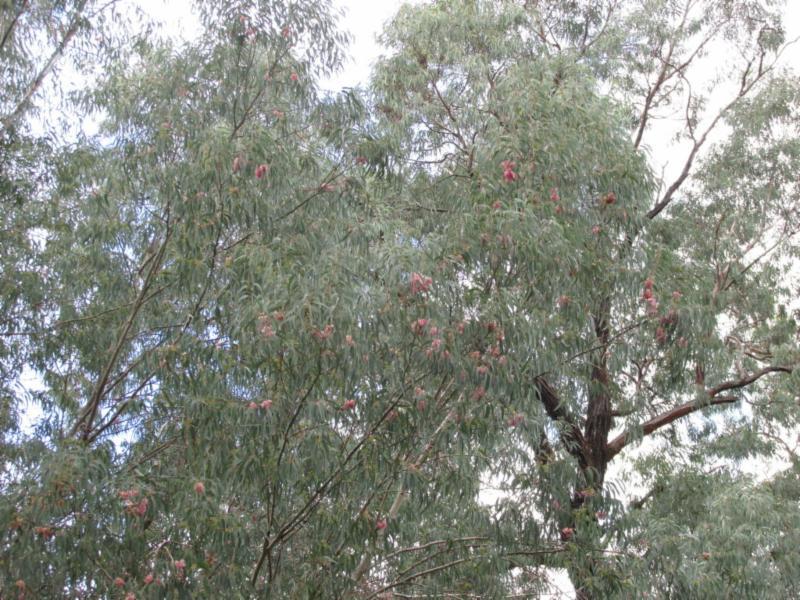 Red Ironbark Eucalyptus