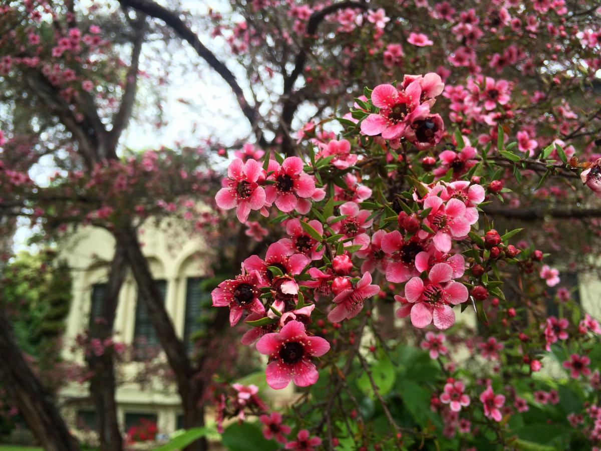 Pink flowers of the Leptospermum scoparium tree