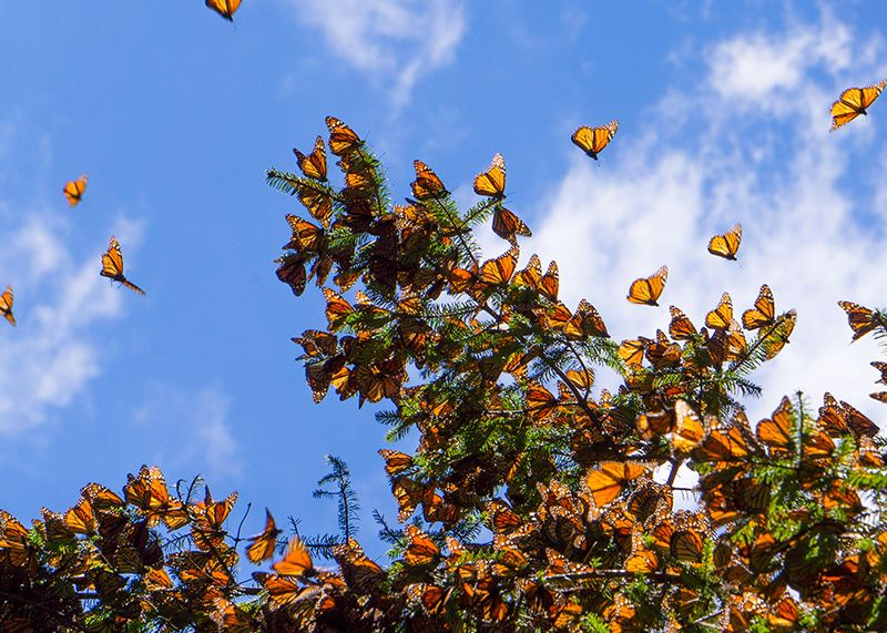 Monarch Tree