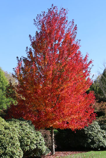 redpointe_fc_tree_home _1_.jpg