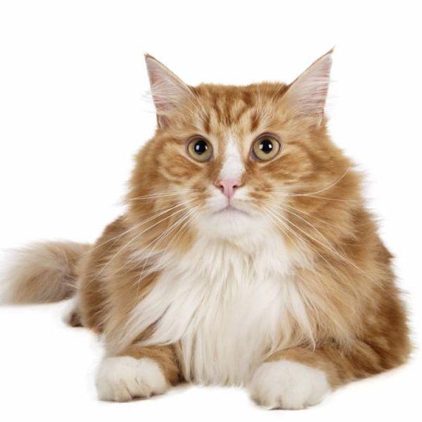 long_haired_orange_cat.jpg