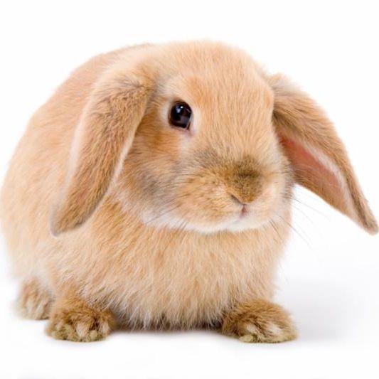 brown_bunny.jpg