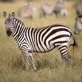 young-zebra.jpg
