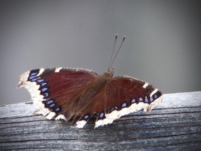 Over-Wintered Mourning Cloak Butterfly