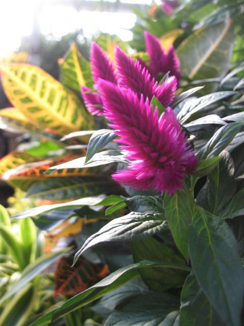 Croton and Celosia