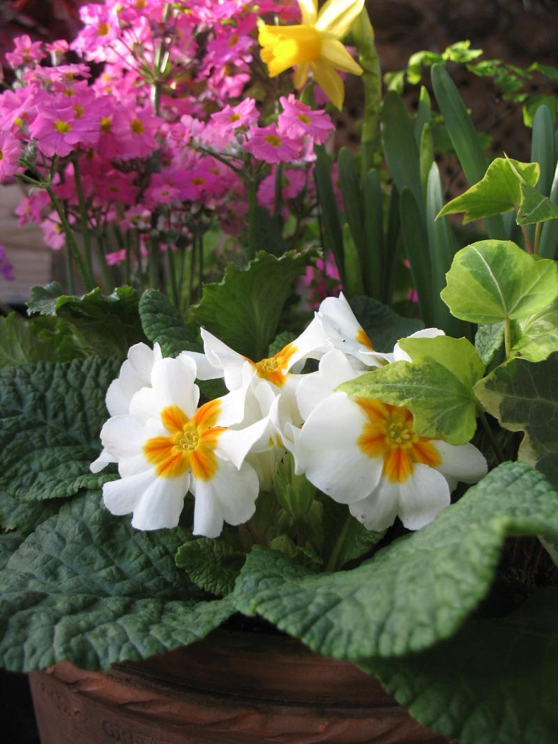primrose and daffodil