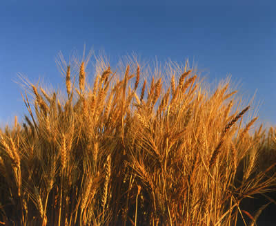 wheat-stalks.jpg