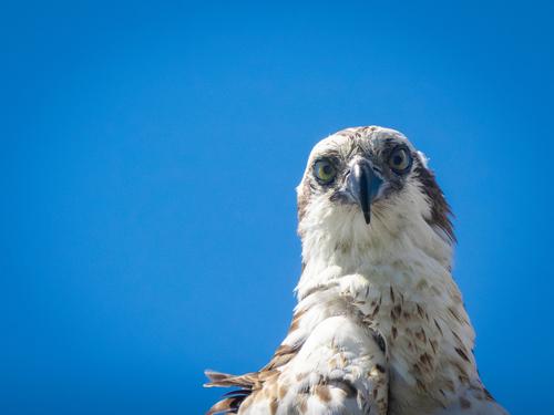 Osprey nesting in nest with blue sky