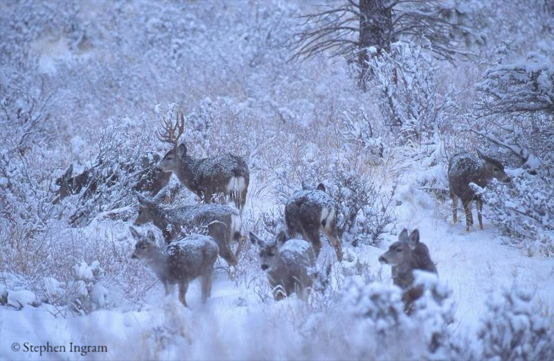 Winter Herd of Mule Deer