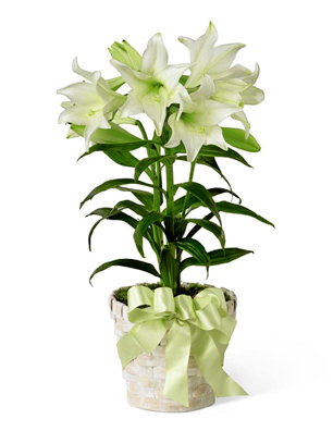 lily for Easter