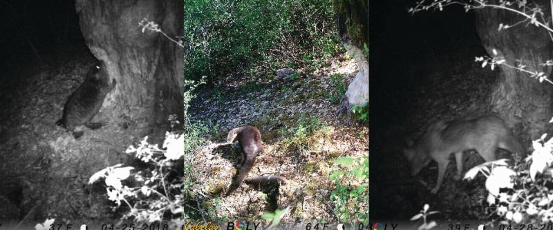 Wild visitors captured on the center_s trail cameras