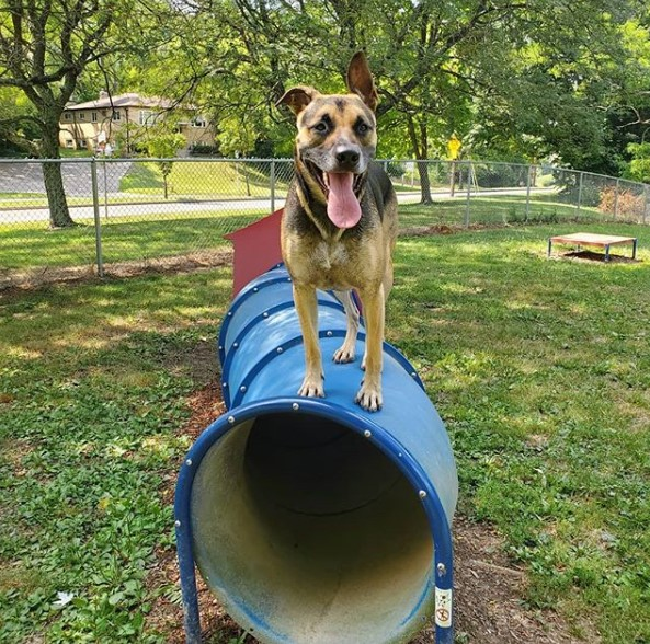 A dog standing on a tunnel at the dog park