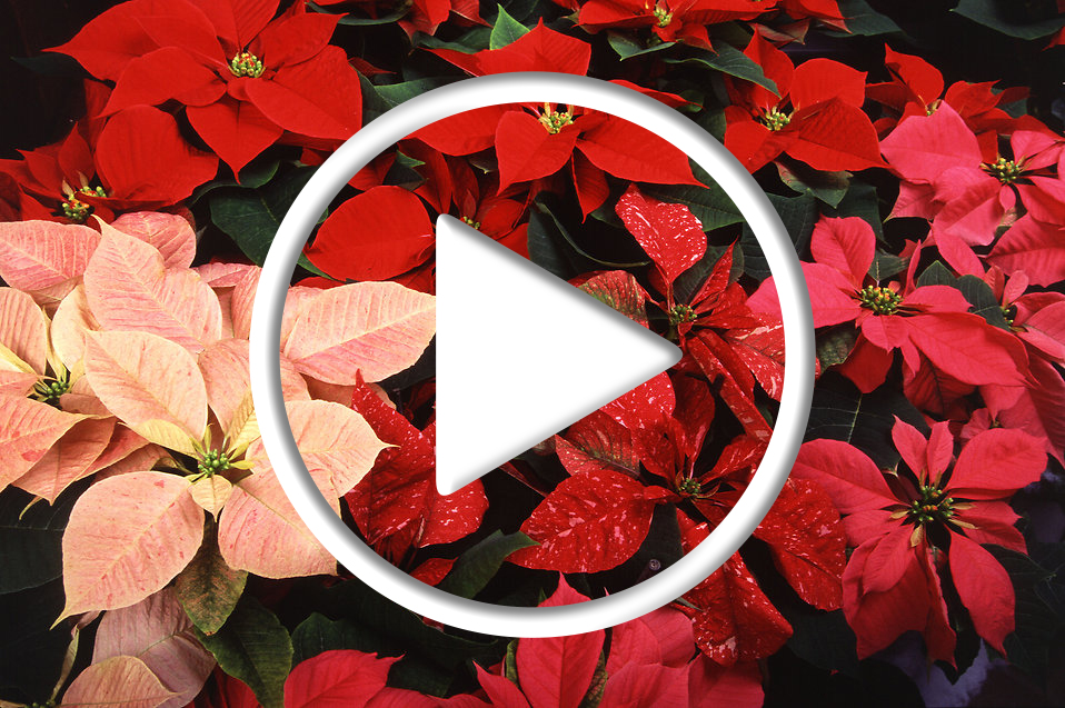 Poinsettias Video