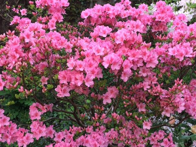 May azaleas