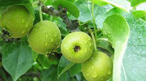 summer asian pears