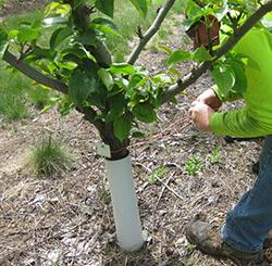 Pear Tree Tie Down