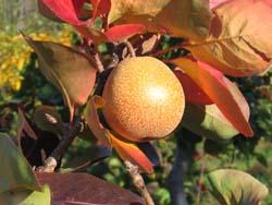 Pear Wreath