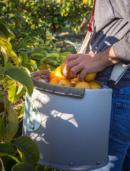 picking Asian Pears this Fall