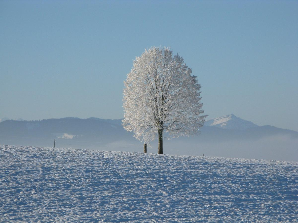 solo tree snow covered in field of snow blue sky