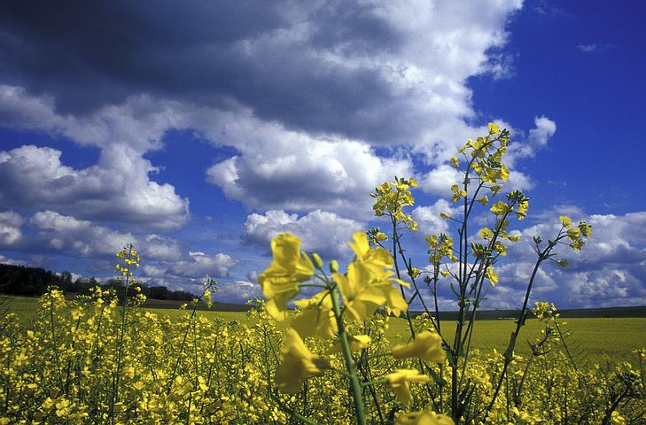 field_yellow_flowers.jpg
