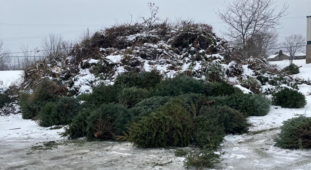 Pine tree pile at the Kentwood Department of Public Works