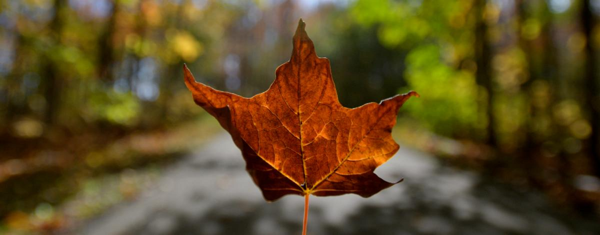 Close-up of a fall leaf with a Kentwood trail blurry in the background